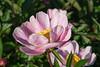Duchess of Portland peony, P. lactiflora