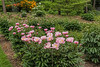 Duchess of Portland peony, (Bed 02), with surroundings