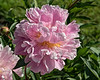 Perfectly Pink - Exquisite, an heirloom peony