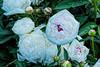 Festiva peony (Bed 19), P. lactiflora