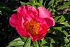 Flame peony (Bed 08), Albiflora X Officinalis