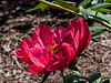 Flame peony (Bed 08)