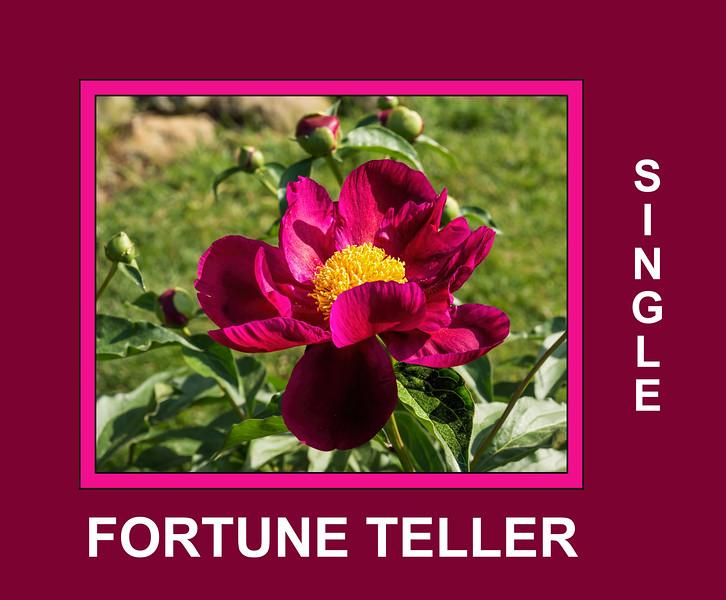 Fortune Teller peony (Bed 08), P. lactiflora