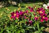 Fortune Teller peony, P. lactiflora