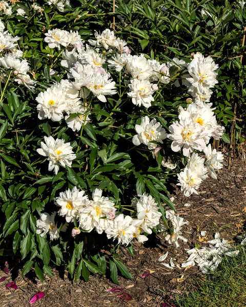 Bed 08 Gisele (5cd)<br /> D162-2016<br /> <br /> Peony Garden at Nichols Arboretum, Ann Arbor<br /> Taken June 11, 2016