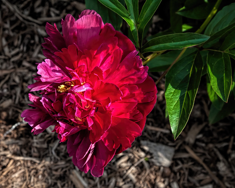 H. F. Reddick peony (seen in Bed 17; now in Bed 10)