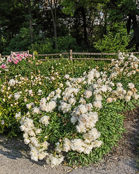 Bed 18 Henry Avery (5ef)<br /> D162-2016<br /> <br /> Peony Garden at Nichols Arboretum, Ann Arbor<br /> Taken June 11, 2016