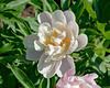 James William Kelway peony