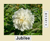 Jubilee peony, P. lactiflora