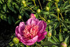 Kelway's Majestic peony (Bed 01), P. lactiflora