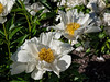 Krinkled White peony (Bed 3), P. lactiflora