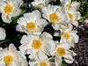 Krinkled White peony (Bed 3), P. lactiflora