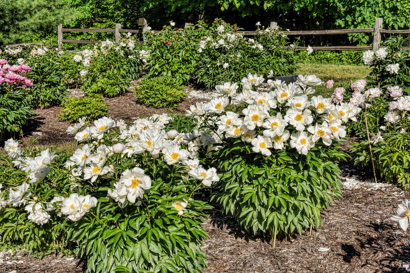 Krinkled White peony (Bed 3), bed view