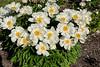 Bed 03 Krinkled White (2ef)<br /> D157-2016<br /> <br /> Peony Garden at Nichols Arboretum, Ann Arbor<br /> Taken June 6, 2016