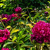Peony Lord Kitchener (Bed 05)