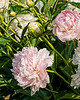 Bed 18 Louisa Brand (5ab)<br /> D162-2016<br /> <br /> Peony Garden at Nichols Arboretum, Ann Arbor<br /> Taken June 11, 2016