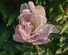 Bed 01 Luetta Pfeiffer (row 2 column a)<br /> D148-2016<br /> <br /> Peony Garden at Nichols Arboretum, Ann Arbor, Michigan<br /> Taken May 28, 2016 (early am)