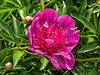 Madame Butterfly peony (Bed 5)