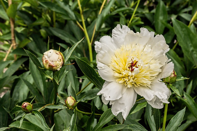Madame Guyot peony, P. lactiflora