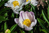 Marie Jacquin peony (Bed 10), P. lactiflora