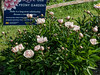Bed 09 Mary Woodbury Shaylor (1ab)<br /> <br /> D147-2017<br /> <br /> Herbaceous peony beds<br /> Peony Garden at Nichols Arboretum, Ann Arbor<br /> Taken May 27, 2017