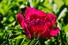 Peony The Moor (Bed 05)
