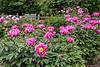 Bed 03 Mr. Thim (row 5 columns cd)<br /> D149-2016<br /> <br /> Peony Garden at Nichols Arboretum, Ann Arbor<br /> May 29, 2016 (early am)