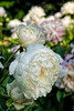 Bed 06 Nymphaea (5ef)<br /> D153-2016<br /> <br /> Peony Garden at Nichols Arboretum, Ann Arbor<br /> Taken June 2, 2016