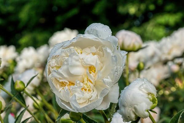 Nymphaea peony, P. lactiflora