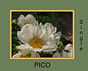 Pico, P. lactiflora