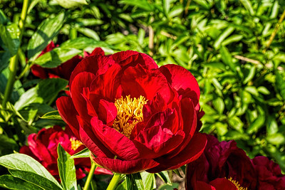 Postilion, herbaceous peony