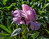 Peony Pride of Langport (?) (Bed 22)