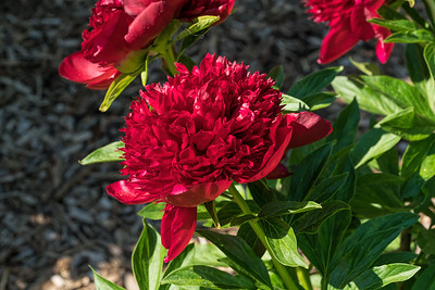 Red Charm, peony Albiflora X Officinalis