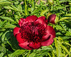 Bed 01 Red Charm (row 4 columns cd)<br /> D146-2016<br /> <br /> Taken May 26, 2016 (late afternoon)<br /> Peony Garden at Nichols Arboretum, Ann Arbor, Michigan