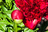 Red Charm peony (Bed 01), Officinalis x lactiflora or Albiflora x officinalis