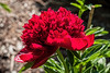 Red Charm (Bed 01), Officinalis x lactiflora or Albiflora x officinalis
