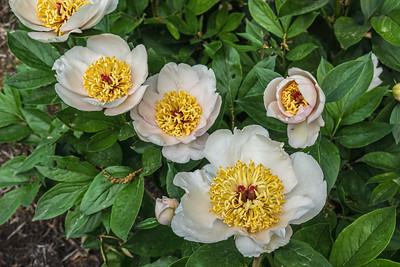 Requiem, Albiflora x macrophylla peony