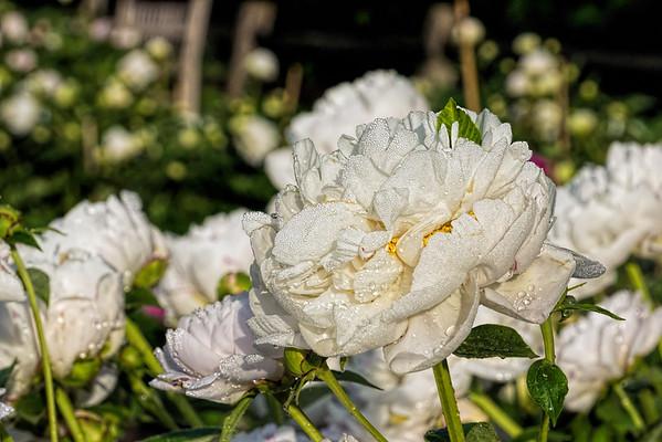 Rose Shaylor peony, P. lactiflora