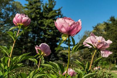 Roselette, triploid herbaceous peony