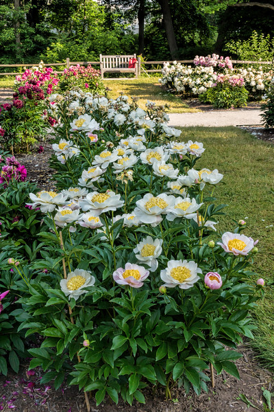 Sagamore peony (Bed 16), bed view