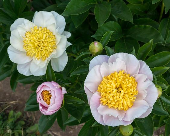 Sagamore peony, P. lactiflora
