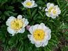 Bed 16 Sagamore (5ef)<br /> D162-2016<br /> <br /> Peony Garden at Nichols Arboretum, Ann Arbor<br /> Taken June 11, 2016
