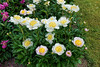 Sagamore peony (Bed 16) - group view