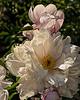 Sarah Carstensen (Bed 01) P. lactiflora peony