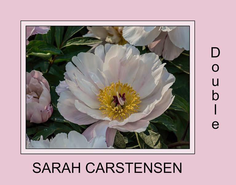 Sarah Carstensen, P. lactiflora peony