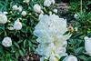 Sylviane peony (Bed 18), P. lactiflora