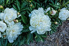 Peony Sylviane (Bed 18), P. lactiflora
