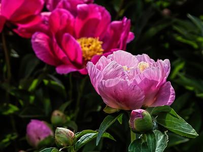 Tokio peony, P. lactiflora
