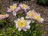 Westerner peony (Bed 15), P. lactiflora