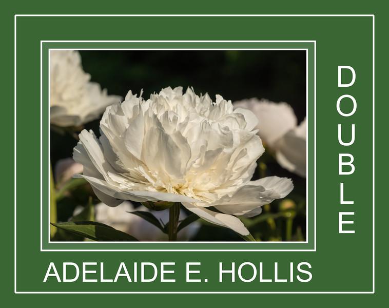 Adelaide E. Hollis, herbaceous peony, double